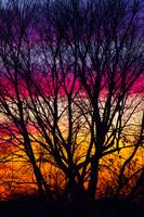 Colorful Sunset with a silhouetted tree, Ohio