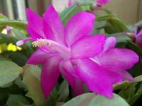 bright pink Christmas cactus bloom
