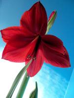 Red Amaryllis against a blue wall