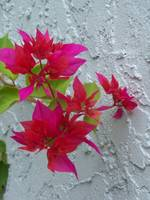 red Bouganvellia blooms against the wall