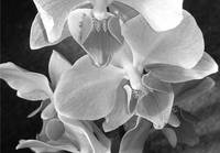 Closeup of orchid blooms grayscale