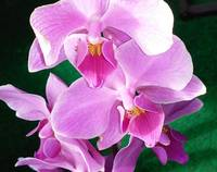 pink Orchid blooms closeup