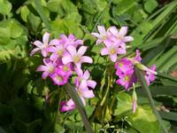 bunch of pink Oxalis flowers