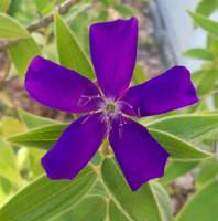 purple 5 petaled princess flower