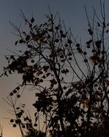 Sunset over the persimmon tree