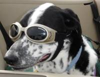 Black and white dog wearing his doggles
