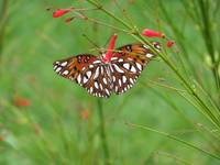 gulf fritillary butterfly on a fireworks plant