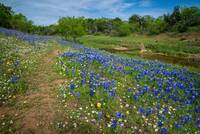 Bluebonnets and Daisies on the Willow City Loop
