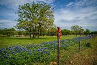 Bluebonnets and Boots on the Willow City Loop