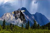 Bald Eagle Near porphyry mountain_200dpi