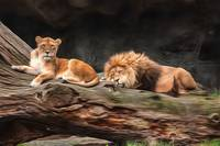 Lion Couple Resting