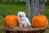 White Maltese Dog in Wheelbarrow with Pumpkins
