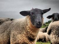 Black Face Sheep, South Wales