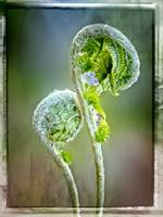 Fiddlehead Fern in Springtime