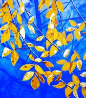 Golden Leaves
