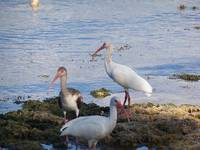 3 wild Ibis water birds hunting