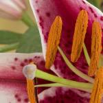 """Pink Lily - Close up"" by elitephotoart"