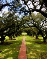 Row of Live Oaks