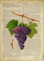 old book page botanical prints - grapes