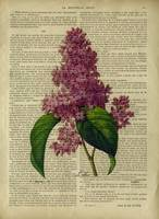 old book page botanica-lilact891)