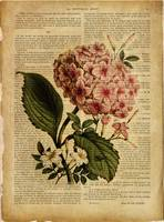 old book page botanical print - Hydrangea