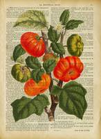 old book page botanica-tomatost891)