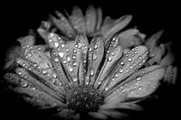 Black and white beautiful flower