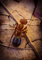 Little ant - macro