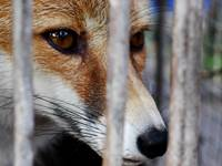 A Fox in a Cage