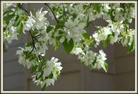 Fragrant Blooms