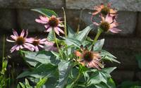 Coneflower Blooms