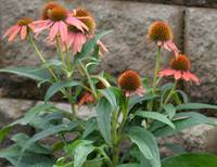 A Blush of Coneflower