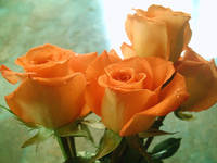 Horizontal Orange Roses with Light