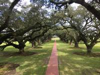 Live Oaks - Louisiana