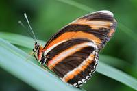 Banded Orange Dryadula Butterfly