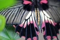 Great Yellow Mormon Butterfly Macro