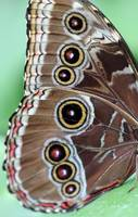 Blue Morpho Butterfly Ventral Wing View