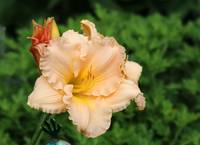country fair winds daylily