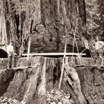 """Humboldt County, Logging Giant Redwood, c1890"" by worldwidearchive"