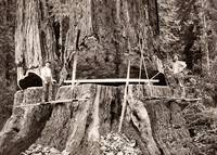 Humboldt County, Logging Giant Redwood, c1890