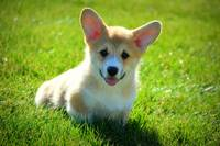 Little Charmer Corgi
