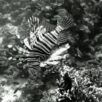 """LionFish2-2B&W"" by Thermocline"