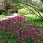 """Purple Tulip Path Dallas Arboretum 05"" by flowerswithfeelings"
