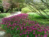 Purple Tulip Path Dallas Arboretum 05