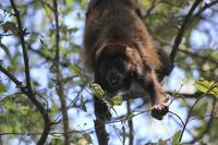 Spider Monkey Feeding Near Tamarindo Costa Rica
