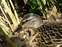 Momma Duck Sitting On Her Eggs 05