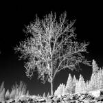 """Infrared Tree"" by hokas"