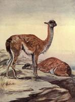 Vintage Guanacos Painting (1909)