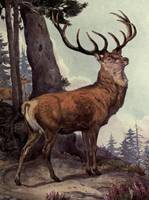 Vintage Red Deer Painting (1909)