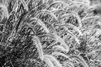 Grass in the wind black and white